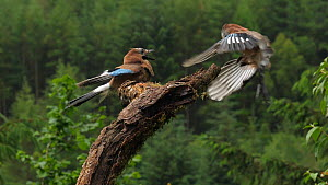 Slow motion clip of a small group of Jays (Garrulus glandarius) fighting over food, Carmarthenshire, Wales, UK, June.  -  Dave Bevan