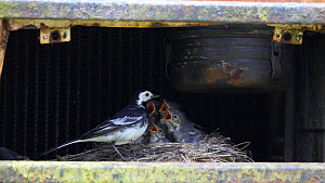 Slow motion clip of a Pied wagtail (Motacilla alba) entering nest site in old tractor with food, before leaving with a faecal sac, Carmarthenshire, Wales, UK, July.  -  Dave Bevan