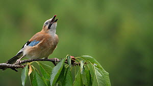 Slow motion clip of a Jay (Garrulus glandarius) feeding on cherries, Carmarthenshire, Wales, UK, July.  -  Dave Bevan