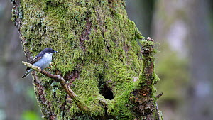 Male Pied flycatcher (Ficedula hypoleuca) flying to nest hole in a tree with food, Carmarthenshire, Wales, UK, June.  -  Dave Bevan