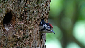 Juvenile Great spotted woodpecker (Dendrocopos major) at nest entrance, Carmarthenshire, Wales, UK, June. - Dave Bevan
