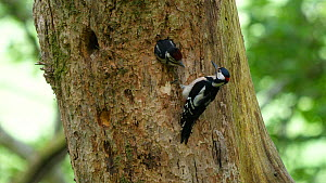 Male Great spotted woodpecker (Dendrocopos major) feeding chick at entrance to nest, Carmarthenshire, Wales, UK, June. - Dave Bevan