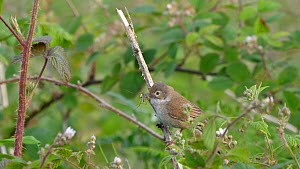 Whitethroat (Sylvia communis) moving through brambles to nest site, carrying food, Carmarthenshire, Wales, UK, June.  -  Dave Bevan