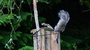 Eastern gray squirrel (Sciurus, Carolinensis) entering top of a bird feeder, struggling to get out again, Carmarthenshire, Wales, UK, June. - Dave Bevan
