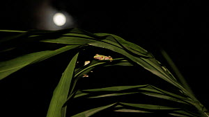 Wide angle shot of two Boulenger's tree frogs (Rhacophorus lateralis)  sitting on a leaf , with the moon in the background, Coorg, Karnataka, Western Ghats, India. - Sandesh  Kadur