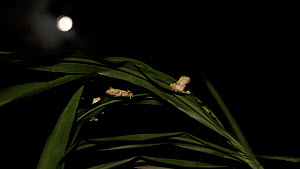Wide angle shot of three Boulenger's tree frogs (Rhacophorus lateralis)  sitting on a leaf  at night, with the moon in the background, Coorg, Karnataka, Western Ghats, India. - Sandesh  Kadur