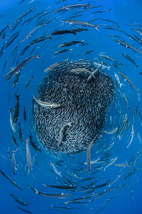 European barracuda (Sphyraena sphyraena) and Bluefish (Pomatomus saltatrix) circling baitball of Atlantic horse mackerel (Trachurus trachurus) Formigas Islets, Azores. Finalist in the Underwater Categ... - Jordi Chias