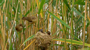 Pair of Reed warblers (Acrocephalus scirpaceus) feeding young at nest, Bedfordshire, England, UK, July. - Dave Bevan
