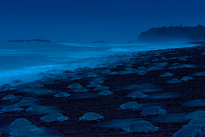 Olive Ridley Sea Turtles (Lepidochelys olivacea) females come ashore during an arribada (mass nesting event) to lay eggs, Pacific Coast, Ostional, Costa Rica. Finalist in Wildlife Photographer of the...  -  Ingo Arndt