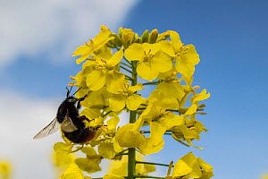 Red-tailed bumblebee (Bombus lapidarius) visiting Oilseed rape (Brassica napus)  Monmouthshire, Wales, UK, April.  -  Phil Savoie