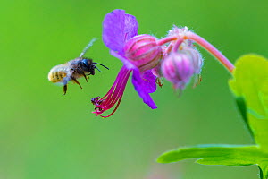 Red mason bee (Osmia bicornis) visiting Geranium sp flower, Monmouthshire, Wales, UK, May.  -  Phil Savoie