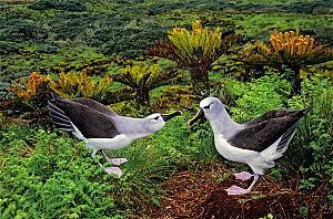 Atlantic yellow-nosed albatross (Thalassarche chlororhynchos) courtship display sequence. Gough Island, Gough and Inaccessible Islands UNESCO World Heritage Site, South Atlantic.  -  Tui De Roy