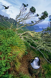 Atlantic yellow-nosed albatross (Thalassarche chlororhynchos).  nesting amid ferns and endemic Phylica arborea trees. Gough Island, Gough and Inaccessible Islands UNESCO World Heritage Site, South Atl...  -  Tui De Roy