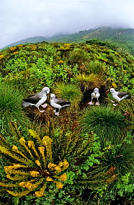 Atlantic yellow-nosed albatross (Thalassarche chlororhynchos) nesting amiongst Tree ferns (Blechnum palmiforme) Gough Island, Gough and Inaccessible Islands UNESCO World Heritage Site, South Atlantic.  -  Tui De Roy