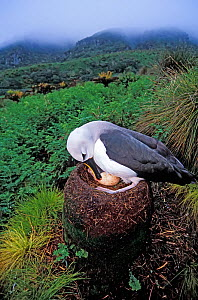 Atlantic yellow-nosed albatross (Thalassarche chlororhynchos) nesting on fern slopes. Gough Island, Gough and Inaccessible Islands UNESCO World Heritage Site, South Atlantic.  -  Tui De Roy