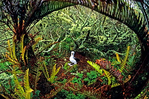 Atlantic yellow-nosed albatross (Thalassarche chlororhynchos). nesting amid Blechnum palmiforme tree ferns.  Gough Island, Gough and Inaccessible Islands UNESCO World Heritage Site, South Atlantic.  -  Tui De Roy