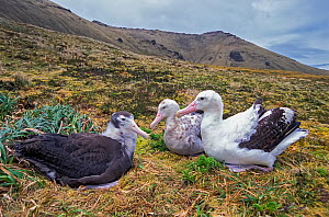 Tristan Albatross (Diomedea dabbenena) family with chick,  Gough Island, Gough and Inaccessible Islands UNESCO World Heritage Site, South Atlantic. Critically endangered.  -  Tui De Roy