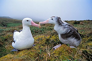 Tristan Albatross (Diomedea dabbenena) male feeding chick, Gough Island, Gough and Inaccessible Islands UNESCO World Heritage Site, South Atlantic. Critically endangered.  -  Tui De Roy