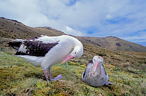 Tristan Albatross (Diomedea dabbenena) pair courting, Gough Island, Gough and Inaccessible Islands UNESCO World Heritage Site, South Atlantic. Critically endangered.  -  Tui De Roy