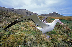 Tristan albatross (Diomedea dabbenena) male, Gough Island, Gough and Inaccessible Islands UNESCO World Heritage Site, South Atlantic.  -  Tui De Roy