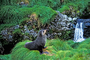 Subantarctic fur seal (Arctocephalus tropicalis) Gough Island, Gough and Inaccessible Islands UNESCO World Heritage Site, South Atlantic.  -  Tui De Roy