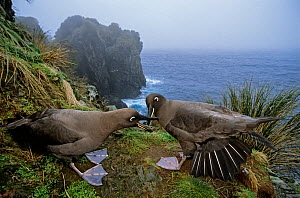 Sooty albatross (Phoebetria fusca) pair courting on coastal cliff edge. Gough Island, Gough and Inaccessible Islands UNESCO World Heritage Site, South Atlantic. Endangered.  -  Tui De Roy