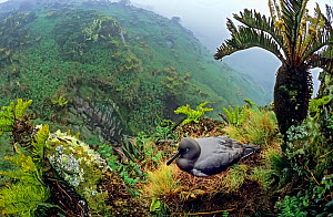 Sooty albatross (Phoebetria fusca) nesting amongst Blechnum palmiforme tree ferns. Gough Island, Gough and Inaccessible Islands UNESCO World Heritage Site, South Atlantic.  -  Tui De Roy