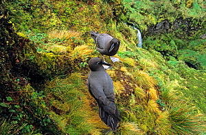 Sooty albatross (Phoebetria fusca) pair courting in high inland valley. Gough Island, Gough and Inaccessible Islands UNESCO World Heritage Site, South Atlantic.  -  Tui De Roy