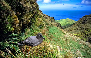 Sooty Albatross (Phoebetria fusca) nesting in high inland valley. Gough Island, Gough and Inaccessible Islands UNESCO World Heritage Site, South Atlantic.  -  Tui De Roy