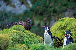 Northern Rockhopper Penguin (Eudyptes moseleyi)  with Brown skua (Stercorarius antarcticus)   Gough and Inaccessible Islands UNESCO World Heritage Site, South Atlantic. - Tui De Roy
