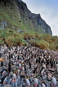 Northern Rockhopper Penguin (Eudyptes moseleyi)  colony in tall Spartina tussock grass.  Gough and Inaccessible Islands UNESCO World Heritage Site, South Atlantic.  -  Tui De Roy