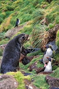 Northern Rockhopper Penguin (Eudyptes moseleyi) in nesting colony with Subantarctic fur seal (Arctocephalus tropicalis) Gough Island, Gough and Inaccessible Islands UNESCO World Heritage Site, South A...  -  Tui De Roy