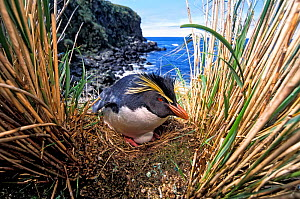 Northern Rockhopper Penguin (Eudyptes moseleyi) on nest, Gough Island, Gough and Inaccessible Islands UNESCO World Heritage Site, South Atlantic.  -  Tui De Roy