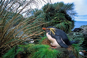 Northern Rockhopper Penguin (Eudyptes moseleyi)on nest, Gough Island, Gough and Inaccessible Islands UNESCO World Heritage Site, South Atlantic.  -  Tui De Roy
