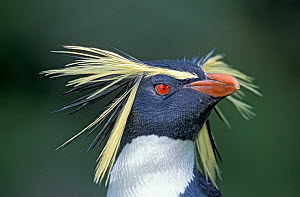 Northern rockhopper penguin (Eudyptes moseleyi) portrait, Gough Island, Gough and Inaccessible Islands UNESCO World Heritage Site, South Atlantic.  -  Tui De Roy