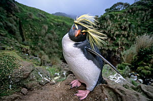Northern Rockhopper Penguin (Eudyptes moseleyi) in windswept nesting colony. Gough Island, Gough and Inaccessible Islands UNESCO World Heritage Site, South Atlantic.  -  Tui De Roy