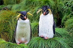 Northern Rockhopper Penguin (Eudyptes moseleyi) pair. Gough Island, Gough and Inaccessible Islands UNESCO World Heritage Site, South Atlantic.  -  Tui De Roy