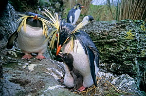 Northern rockhopper penguin (Eudyptes moseleyi) pair with chick. Gough Island, Gough and Inaccessible Islands UNESCO World Heritage Site, South Atlantic.  -  Tui De Roy