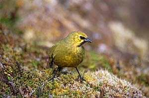 Gough Island bunting (Rowettia goughensis) adult   foraging in moorland habitat. Gough Island, Gough and Inaccessible Islands UNESCO World Heritage Site, South Atlantic. Critically endangered species.  -  Tui De Roy