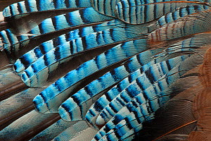 Close-up of a Jay's (Garrulus glandarius) wing, showing blue covert feathers.  -  Michael Hutchinson