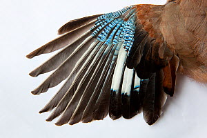Jay's (Garrulus glandarius) wing, showing blue covert feathers.  -  Michael Hutchinson