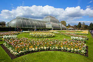 Palm House, with flowering Tulips (Tulipa) in the foreground, Kew Gardens, London, England, UK, April 2016.  -  Michael Hutchinson