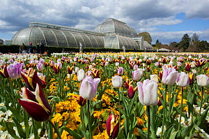 Flowering Tulips (Tulipa), with Palm House in the background, Kew Gardens, London, England, UK, April 2016.  -  Michael Hutchinson