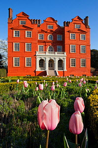 Flowering Tulips (Tulipa), with Kew Palace in the background, Kew Gardens, London, England, UK, April 2016.  -  Michael Hutchinson