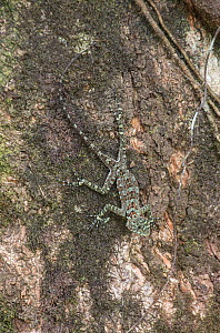 Collared tree lizard (Plica plica) camouflaged on bark, Trinidad.  -  Adrian Davies