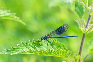 Banded demoiselle  (Calopteryx splendens) male on riverside vegetation. River Mole, Surrey, UK. - Adrian Davies