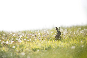 European hare (Lepus europaeus) sitting among dandelions, Burgundy, France. May.  -  Cyril Ruoso