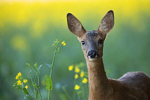 Roe deer (Capreolus capreolus) female in oilseed rape field, Burgundy, France. June.  -  Cyril Ruoso