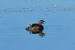 Pied-billed grebe (Podilymbus podiceps) chick pausing while climbing up onto its parent's back. North Park, Colorado, USA.  -  Charlie  Summers