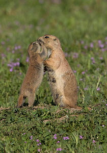 Black-tailed prairie dog (Cynomys ludovicianus) pup showing affection toward adult female. Parker, Colorado, USA. - Charlie  Summers